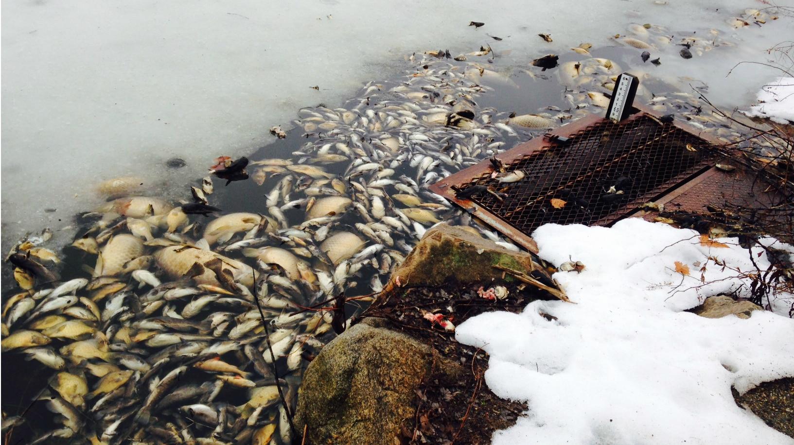 Winter fish kill