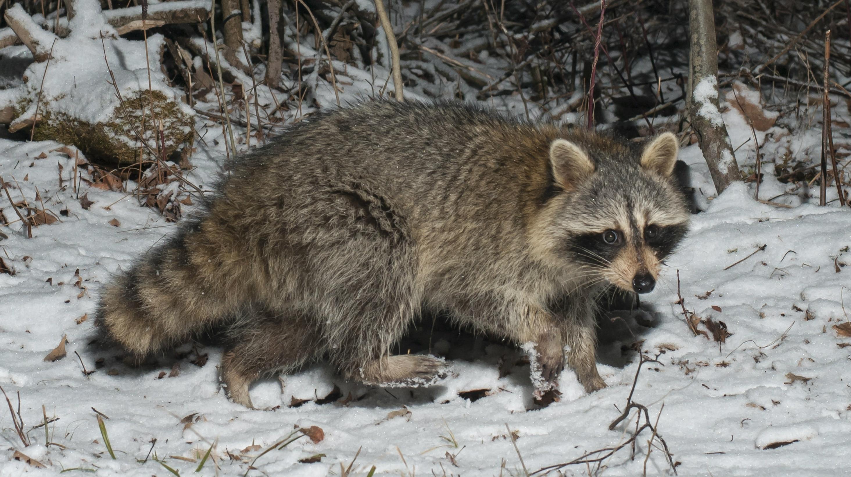Raccoon in winter snow