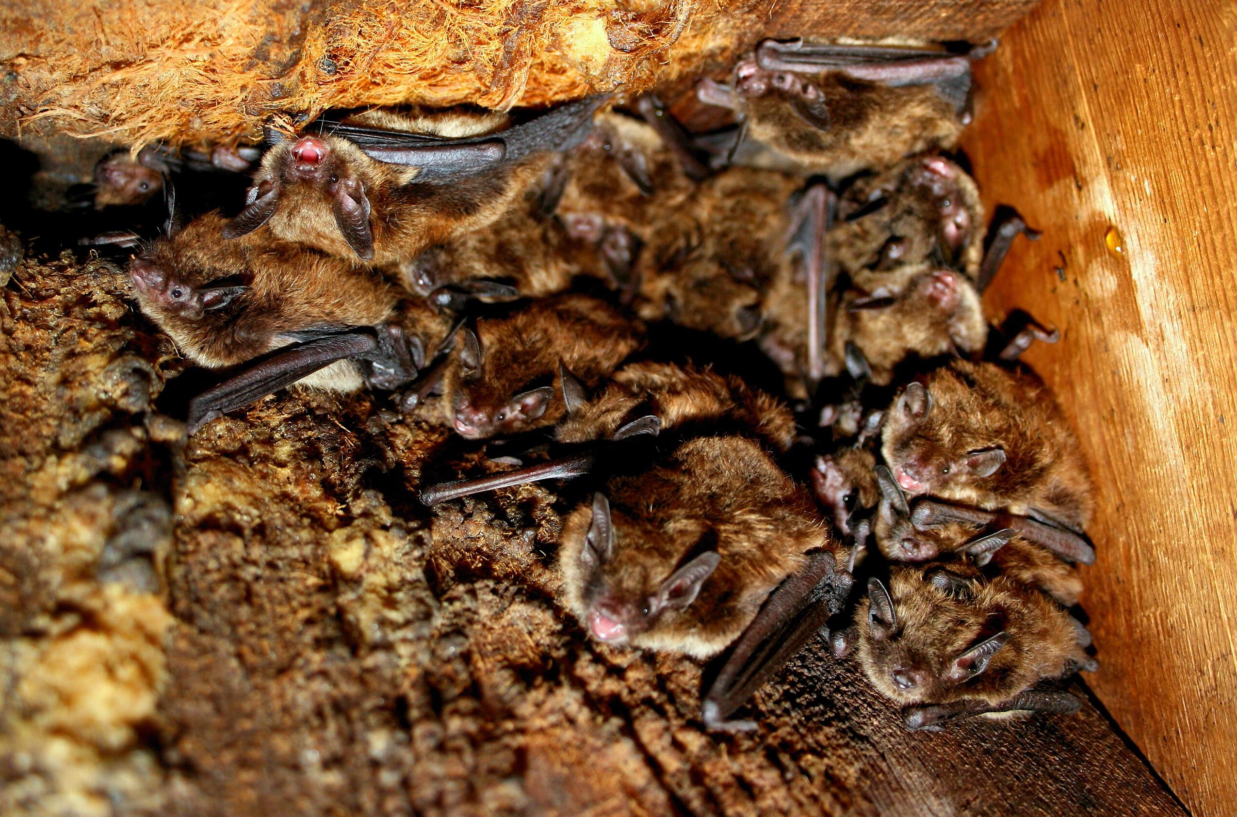 Little brown bats in an attic.