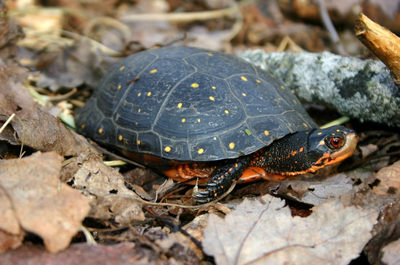Spotted Turtle standing in fallen leaves