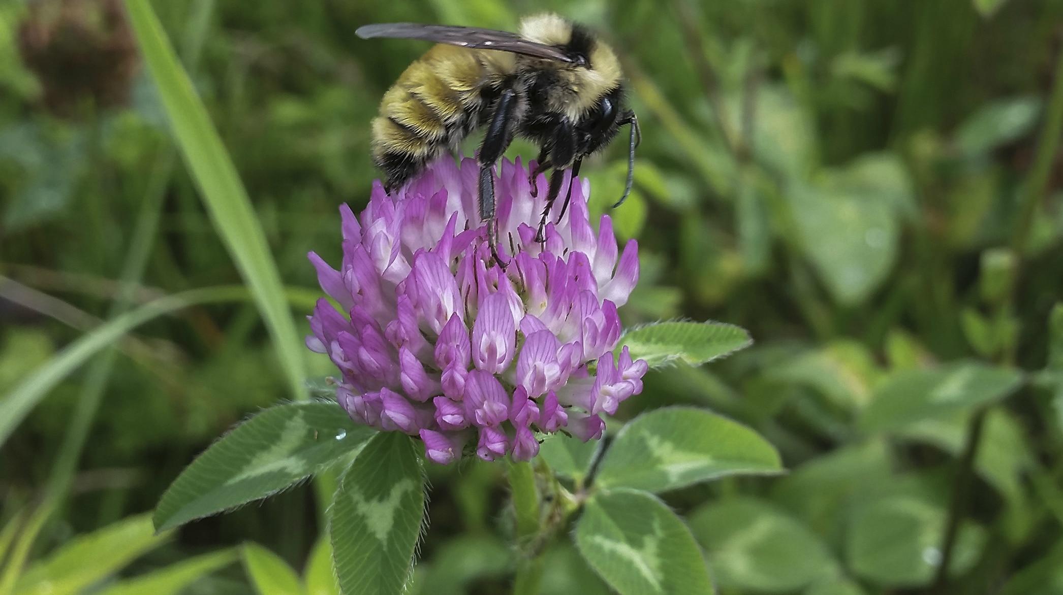 Golden northern bumblebee