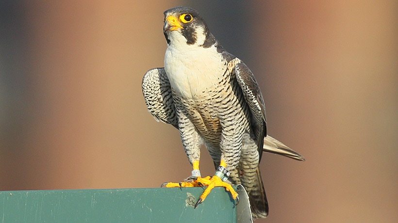 17 year old peregrine falcon