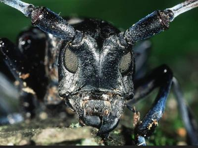 Asian Longhorned Beetle Forest Pest