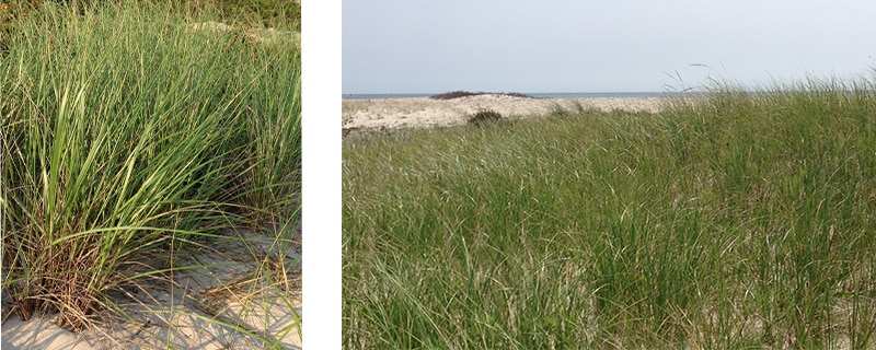 Coastal Landscaping In Massachusetts Grasses And