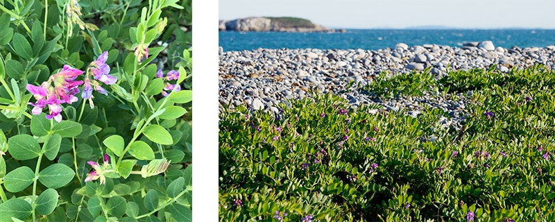 e29d42e1 Beach pea (Lathyrus japonicus) is a sprawling perennial vine that grows in  beach and dune environments. The leaves are divided into several segments  and ...