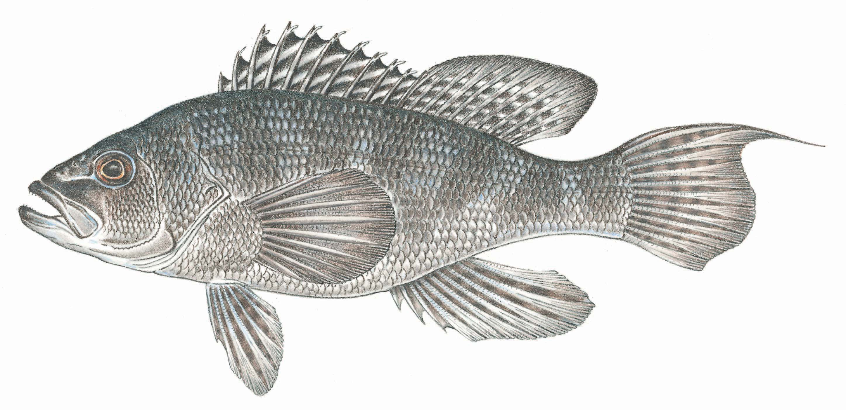black sea bass artwork