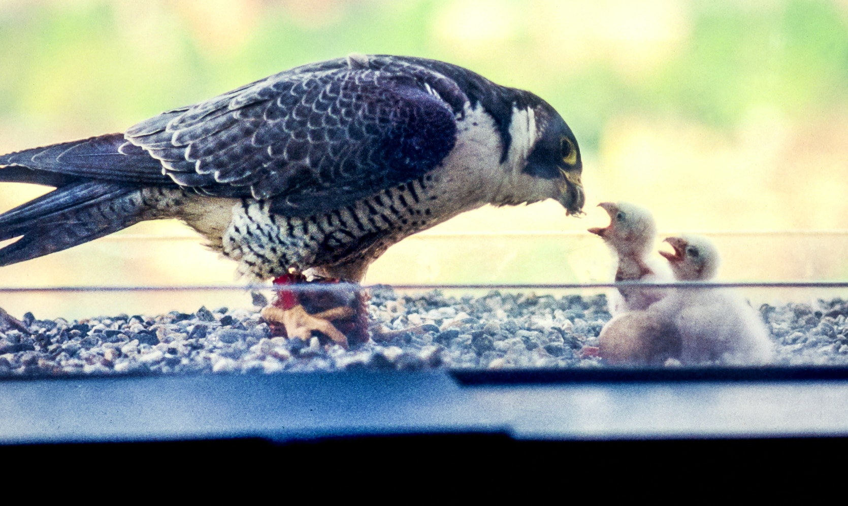 Peregrine falcon feeding chicks in Springfield, Massachusetts.