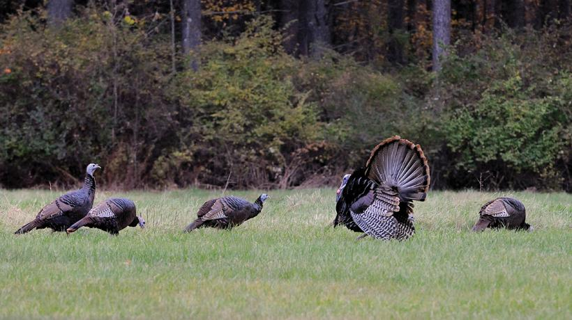 The 2018 Machusetts Spring Turkey Hunting Season Opens On April 30 And Runs Through May 26 Youth Hunt Is 28