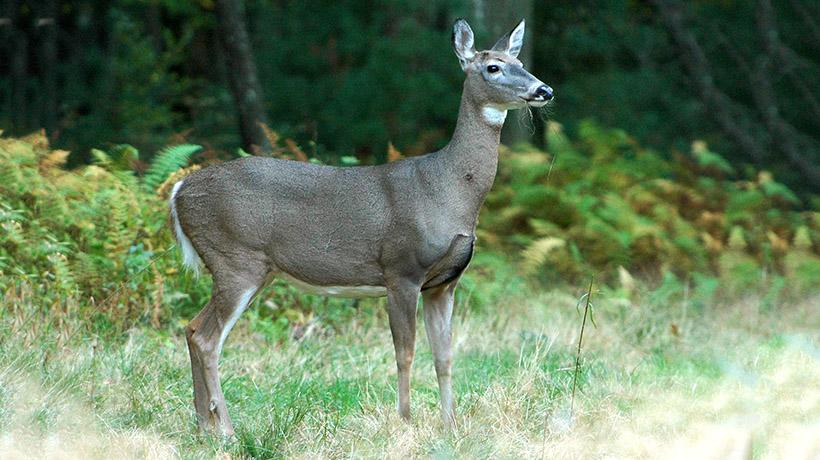 deer hunting information and reminders mass gov