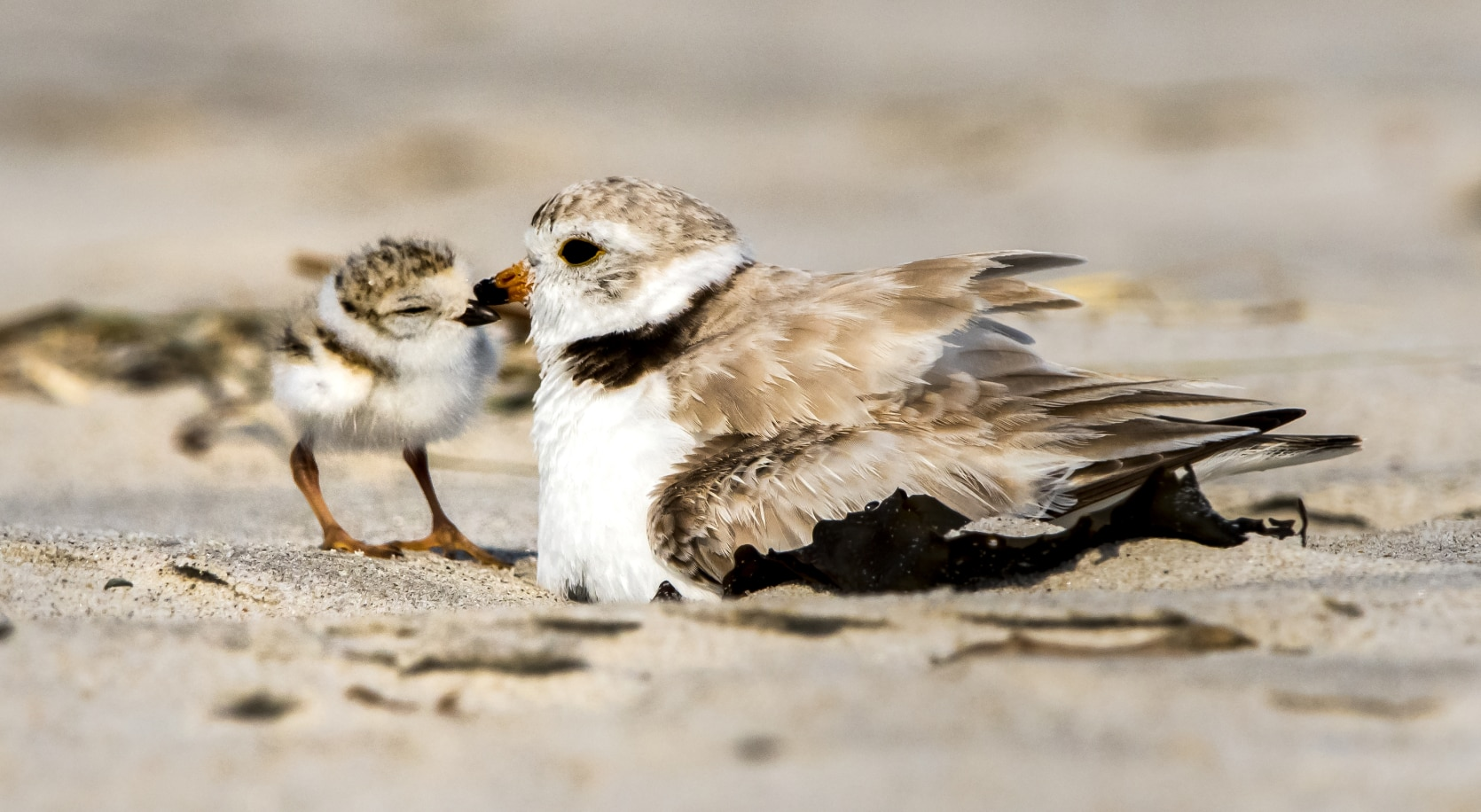 Piping plover chick with brooding adult