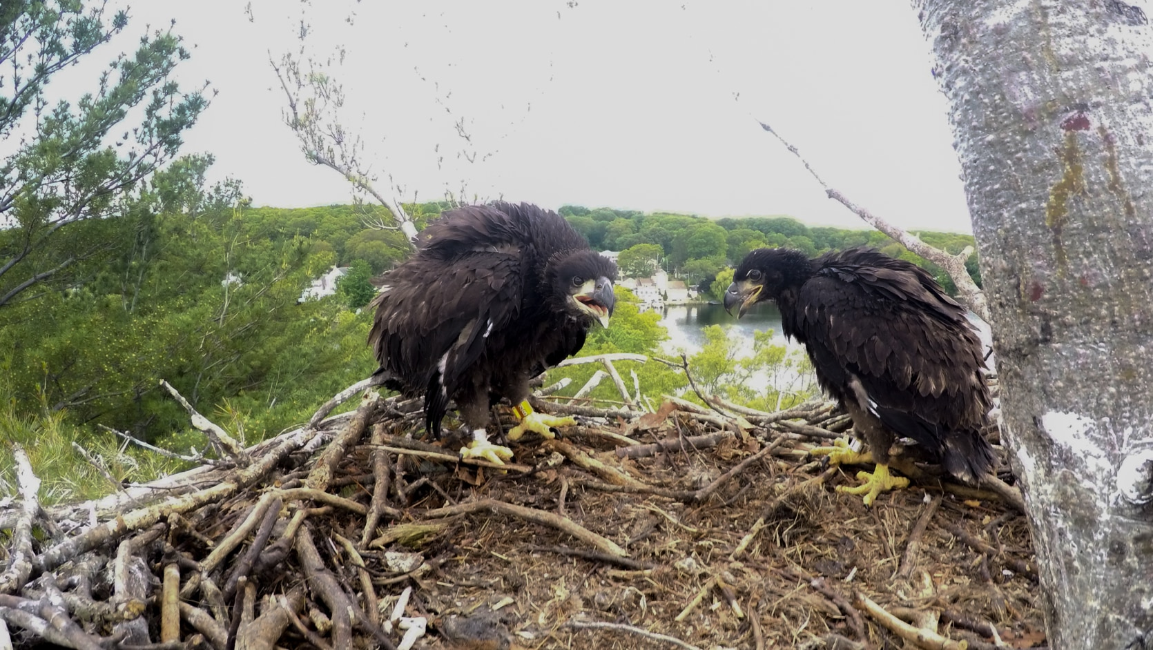 Bald Eagle Numbers On The Rise Mass Gov