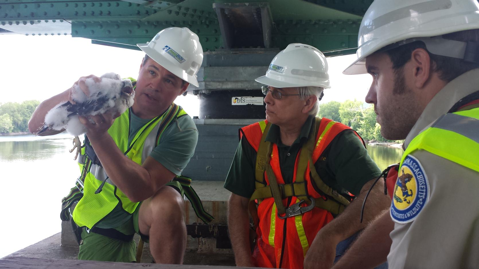MassWildlife and MassDOT staff with a peregrine falcon chick in the support structure of a bridge.