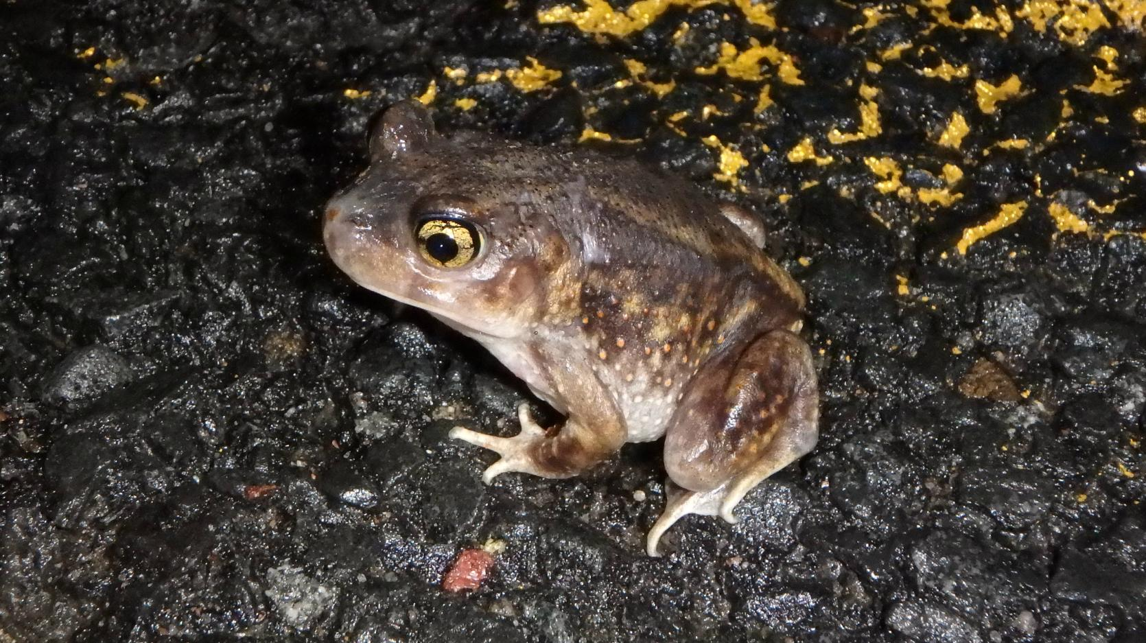 Eastern spadefoot on the road