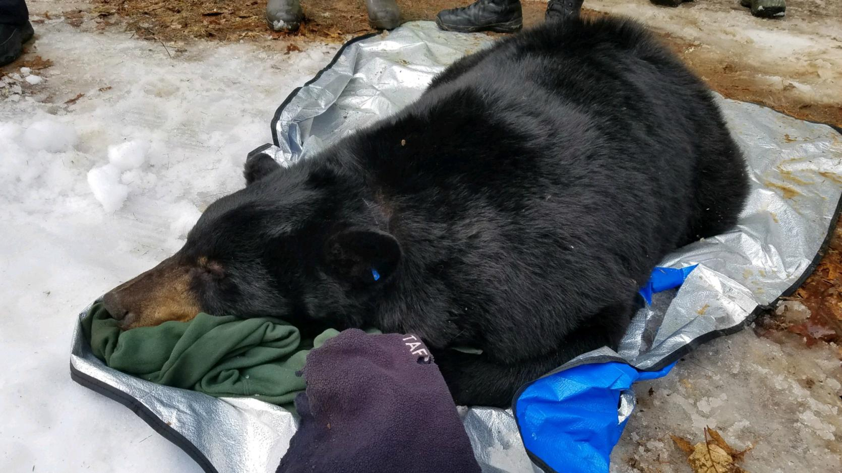 Black bear relocated