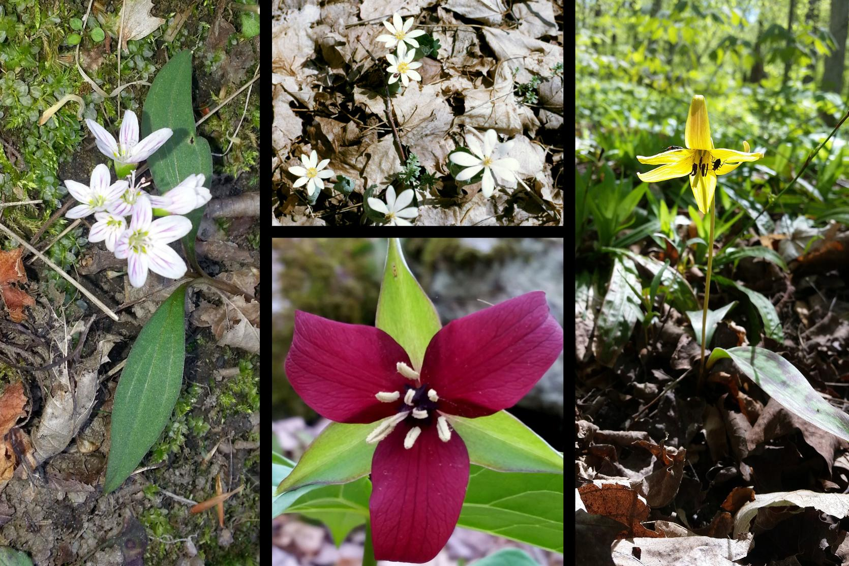 Clockwise from left: Spring beauty (Claytonia virginiana), blood root (Sanguinaria canadensis), trout lily (Erythronium americanum), wake robin (Trillium erectum).