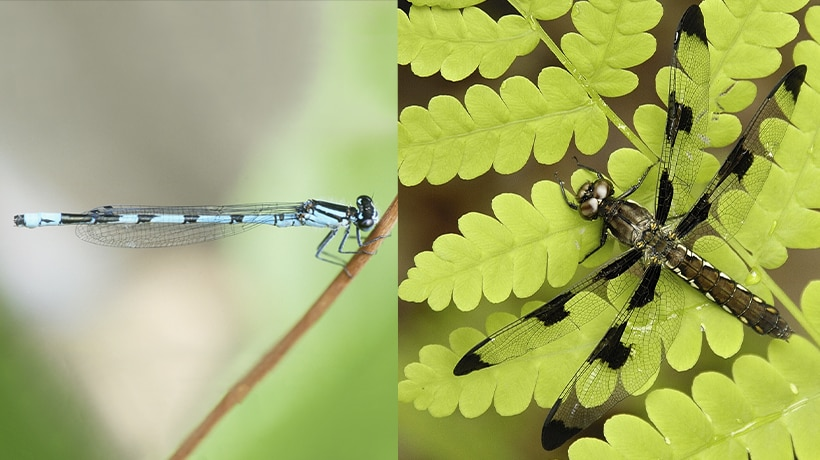 Left: New England bluet damselfly; right: whitetail dragonfly