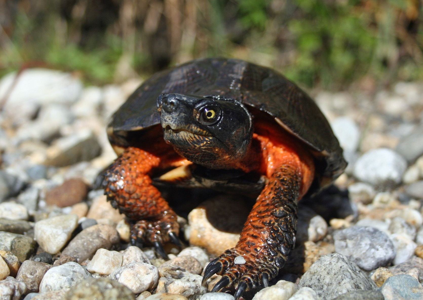 Wood turtle walking on stones