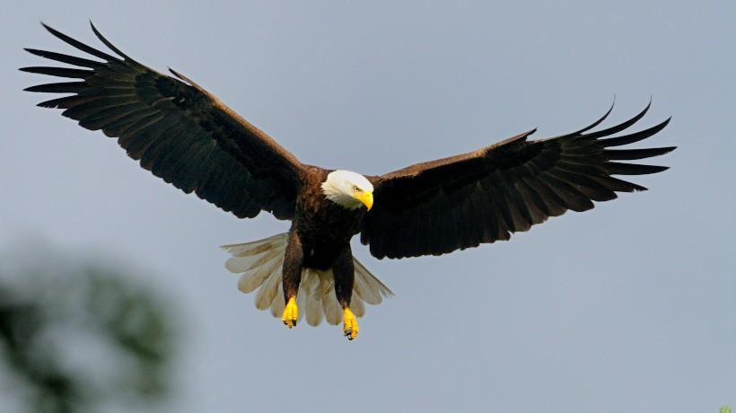 Species Spotlight Bald Eagles Mass Gov