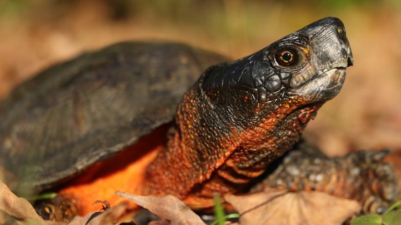 Mike Jones wood turtle