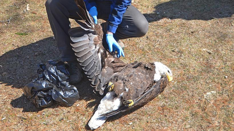 Dead bald eagle inspected by wildlife official