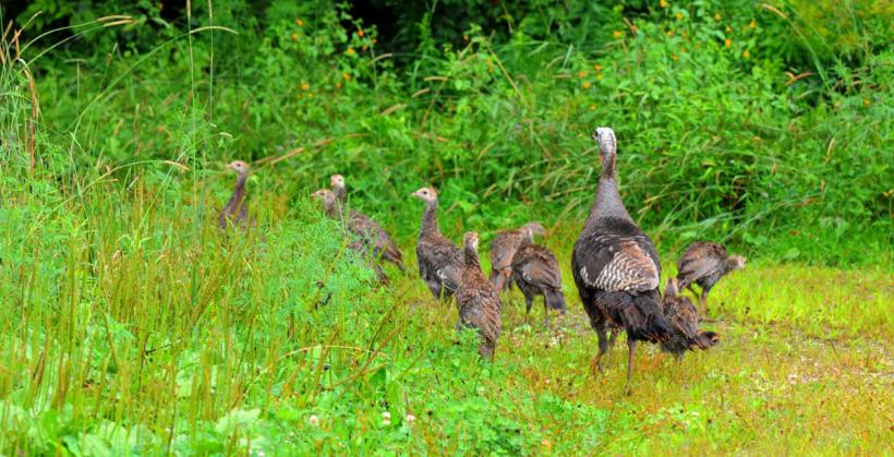 Help out with #MassWildlife's Annual Turkey Brood Survey