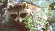 Raccoon perched up in pine tree