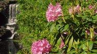 Beautiful rhododendron decorate the sides of a waterfall