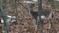 Deer walking through the woods.