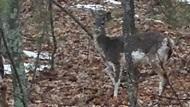 Deer walking through the woods.