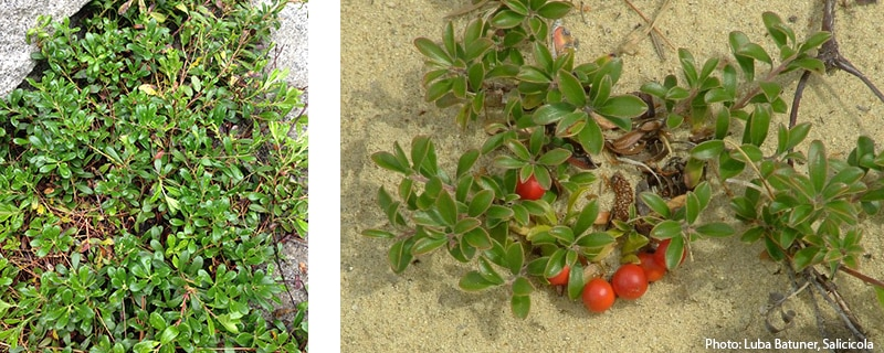 photos of bearberry