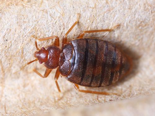 How can i say bed bugs in spanish