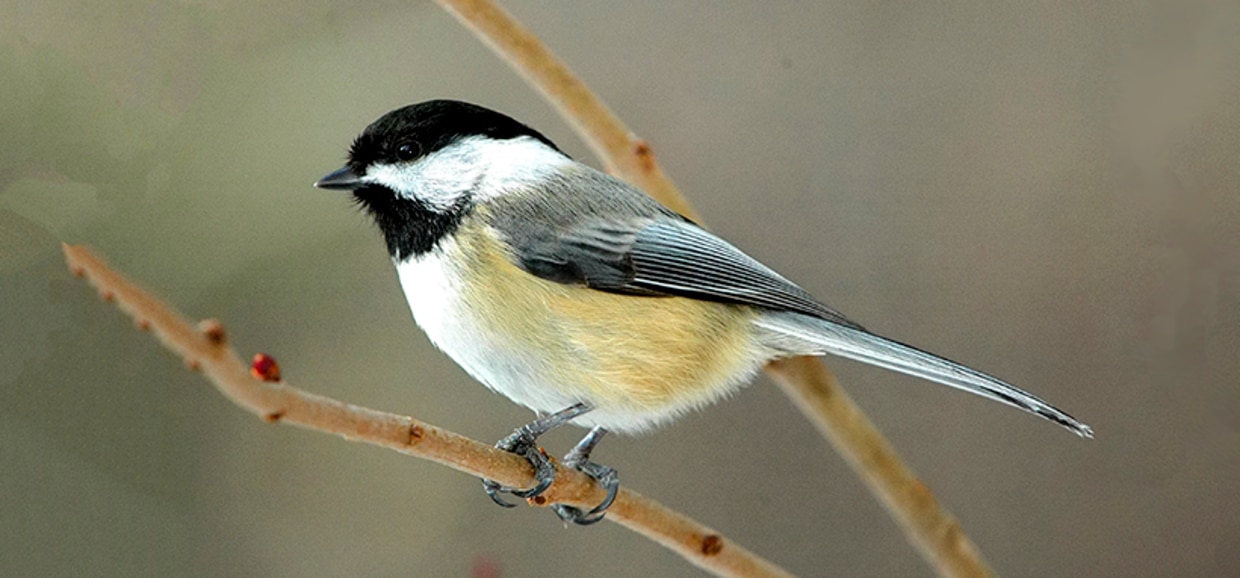 Black-capped Chickadee by Bill Byrne/MassWildlife