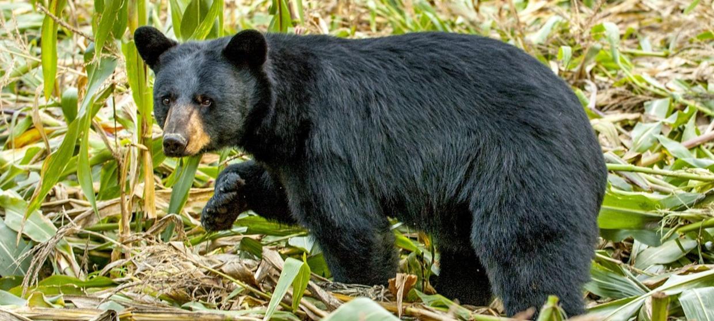 Black bear hunting regulations for Big 5 fishing license