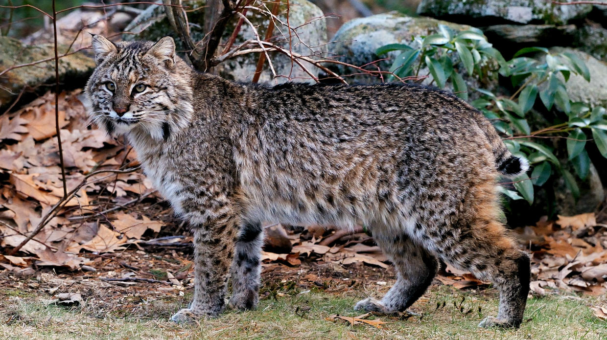 Show Me A Picture Of A Bobcat >> Learn About Bobcats Mass Gov