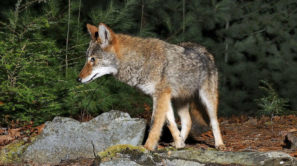 Learn about coyotes Massgov