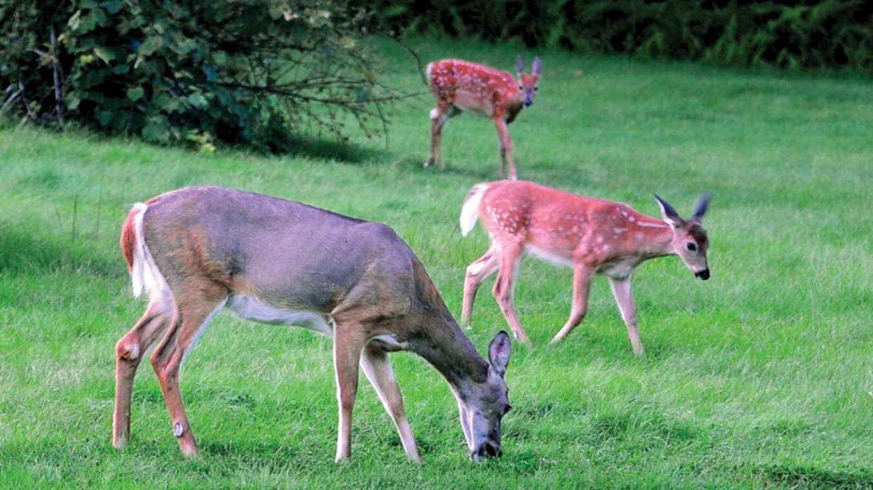Doe with two fawns