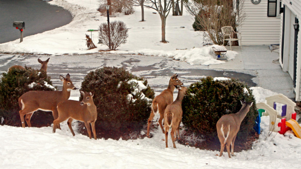 Deer in neighborhood