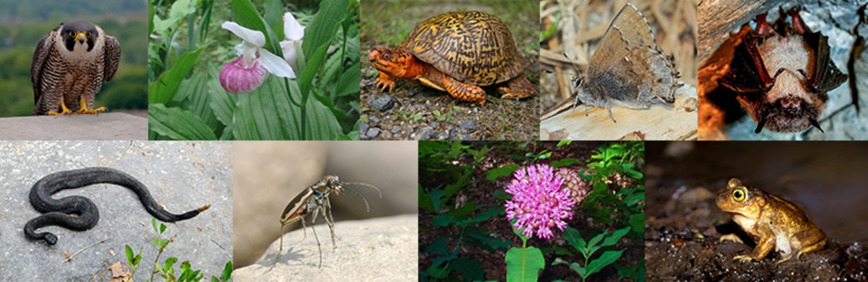 Collage of rare species in Massachusetts