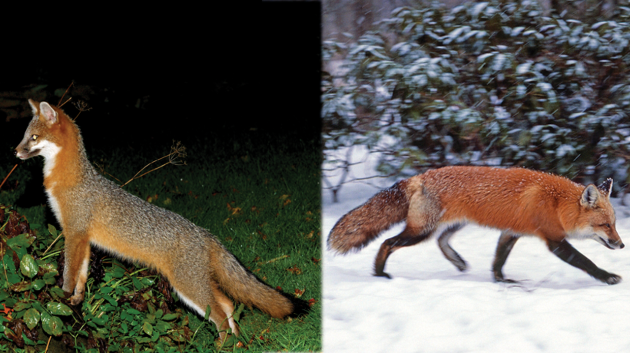 gray fox and red fox