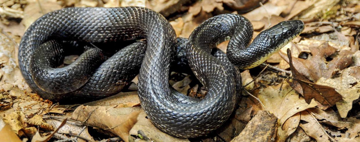 Learn about eastern ratsnakes | Mass.gov