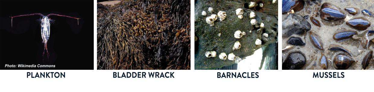 plankton, bladder wrack, barnacles, mussels