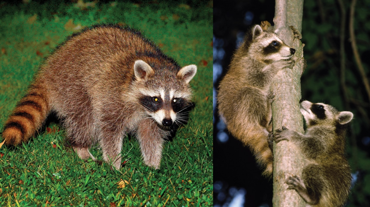 Learn about raccoons for Do raccoons eat fish