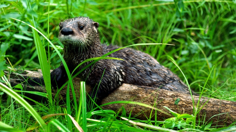 Learn about river otters   Mass gov