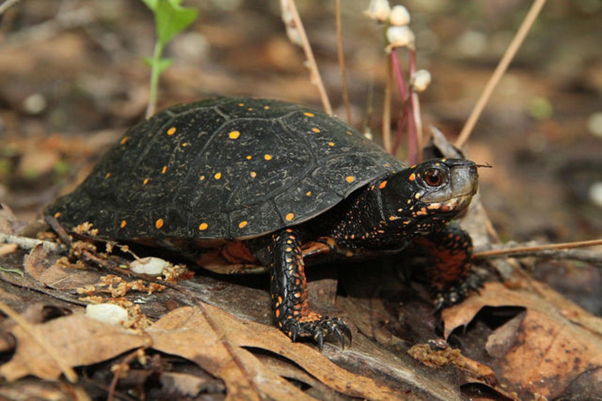 Spotted Turtle. Photo by Mike Jones, MassWildlife