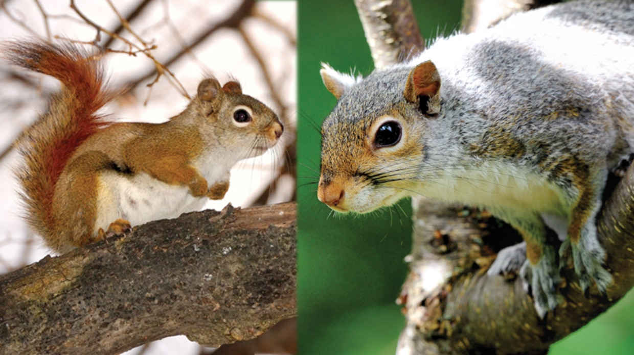 Red squirrel and gray squirrel