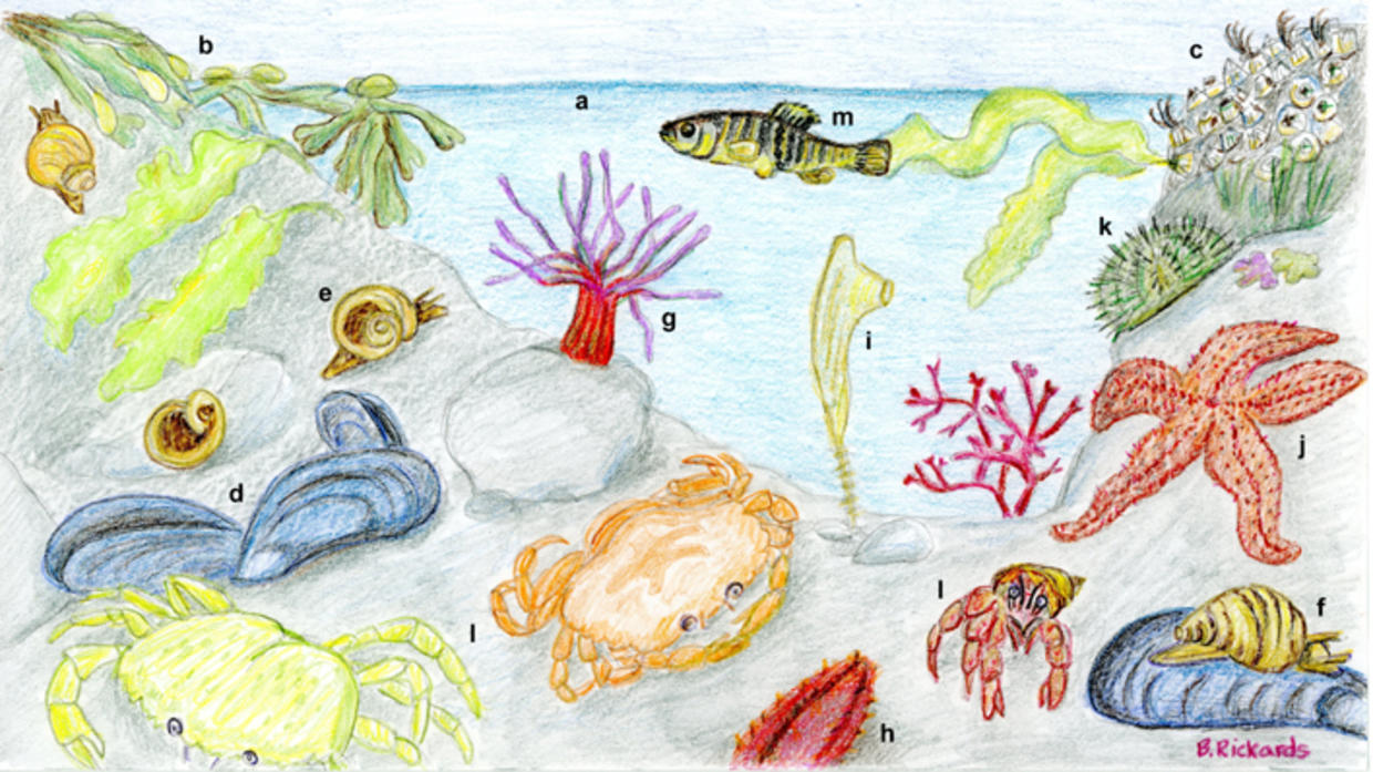 Cz tip learn what lurks in a massachusetts tide pool mass tide pool drawing nvjuhfo Gallery