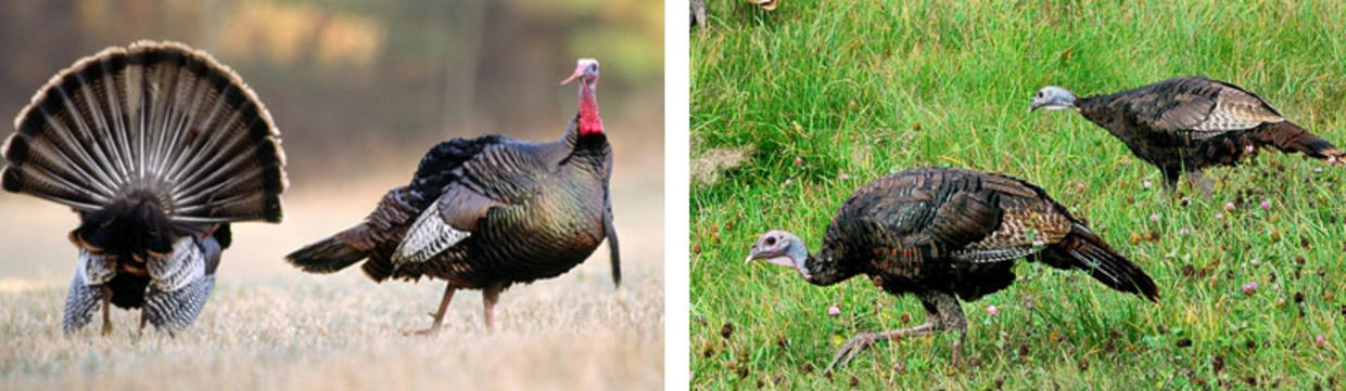 Identifying female and male turkeys in the spring   Mass.gov