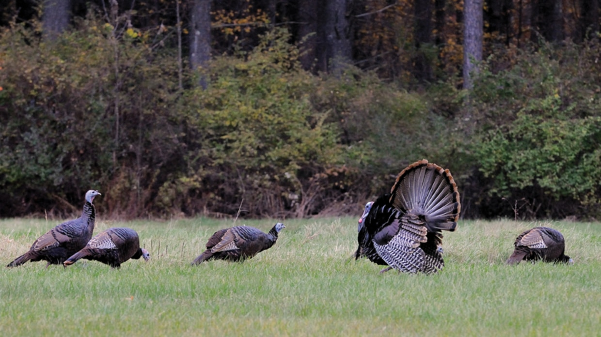 Wild Turkeys In Machusetts