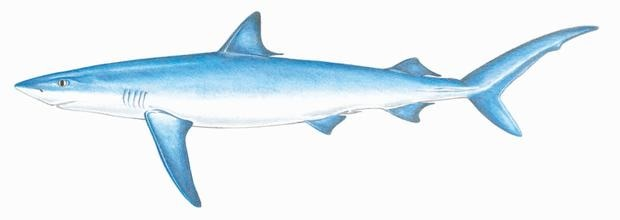 learn about blue sharks mass gov