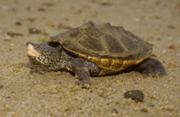 Diamond-backed Terrapin